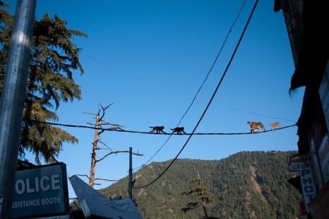 Macaque monkeys walk on power lines above McLeodganj. Photo by Angus McDonald
