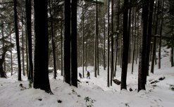 Snowfall in forest near McLeodganj, Dharamshala, January 2012. Photo by Ashwini Bhatia