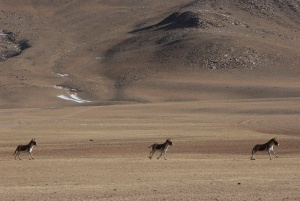 Three kiang, or Tibetan wild ass, near Tso Moriri lake, Ladakh, India. Photo by Angus McDonald
